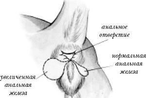 Лечение воспаления анальной железы у собак