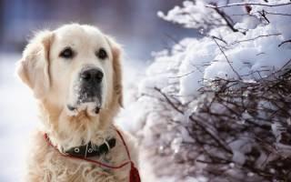 Гипотермия (Отморожения) — как лечить у собак