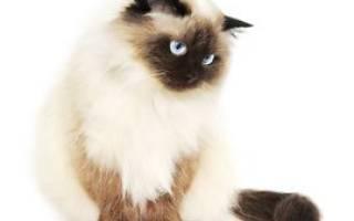 Гималайская кошка — описание пород котов