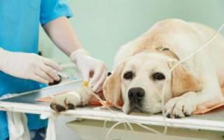 Сосудистая недостаточность — как лечить у собак
