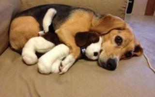 Ложная щенность (Псевдолактация) — как лечить у собак