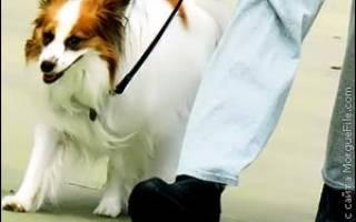 Как приучить щенка проситься в туалет на улицу при помощи колокольчика