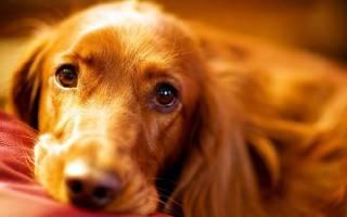 Гастрит  — как лечить у собак