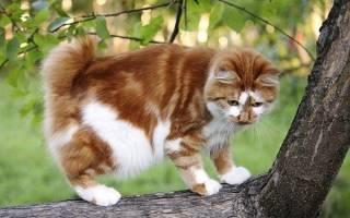 Японский бобтейл — описание пород котов