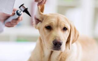 Воспаление среднего и внутреннего уха (Отит) — как лечить у собак