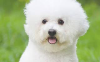 Как обучить собаку породы бишон фризе