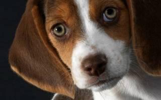 Глаукома  — как лечить у собак