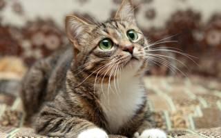Нефрит у кошки