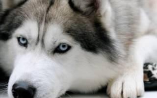 Описание породы Сибирский хаски