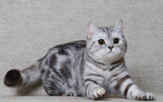 Скоттиш страйт — описание пород котов
