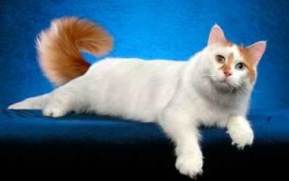 Анатолийская кошка — описание пород котов