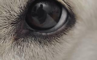 Воспаление роговицы (Кератит) — как лечить у собак