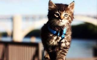 Как выгуливать кошку?