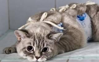 Грыжи у кошек