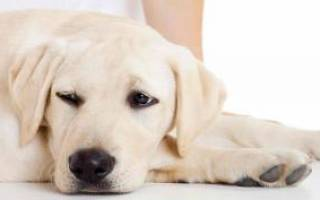 Артроз  — как лечить у собак