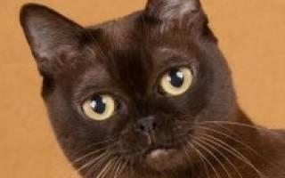 Американская бурманская кошка — описание пород котов
