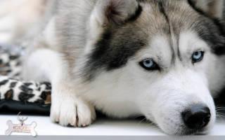 Бронхоэктатическая болезнь — как лечить у собак