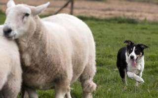 Эхинококкоз — как лечить у собак