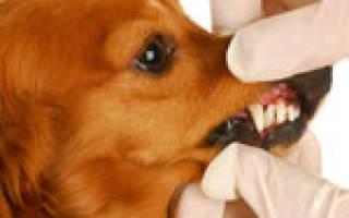 Язвенно-пленчатая ангина (стоматит Винцента) — как лечить у собак