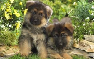 Как ухаживать за щенком немецкой овчарки