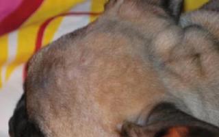 Акне (Остиофолликулит, Прыщи) — как лечить у собак