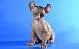Двэльф — описание пород котов