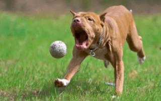 Как дрессировать щенка питбуля