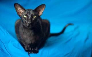 Ориентальная кошка — описание пород котов