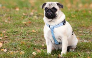 Как научить щенка выдержке?