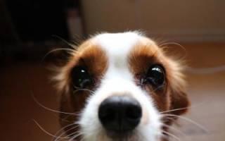 Зачем собаке усы?