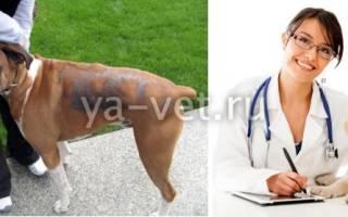 Облысение (алопеция) — как лечить у собак