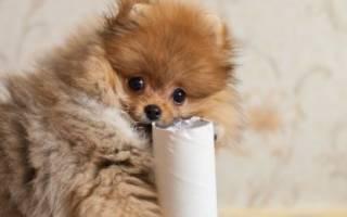 Как приучить щенка шпица ходить в туалет
