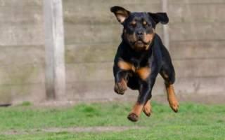 Как научить щенка ротвейлера выполнять простые команды