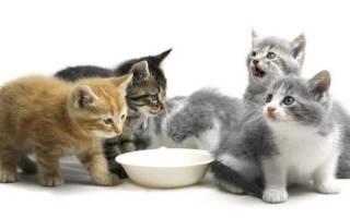 Как перевести котенка на готовый рацион?