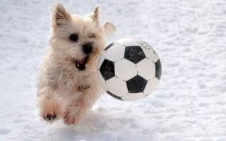 Как научить собаку играть в футбол