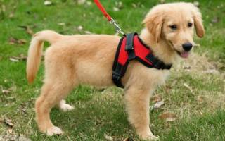 Как надеть шлейку на собаку?