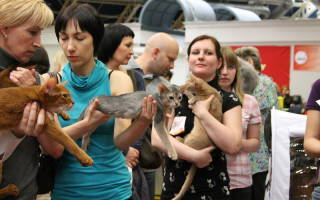 Подготовка кошки к выставке