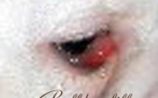 Аденома третьего века («Вишневый глаз») — как лечить у собак