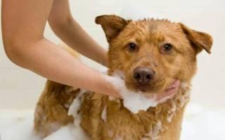 Власоеды («Пухоеды», Триходектоз) — как лечить у собак
