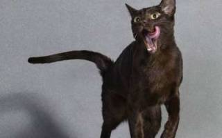 Гавана — описание пород котов