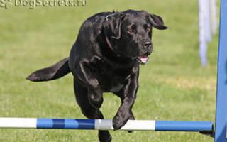 Как научить собаку прыгать