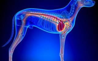Сердечная недостаточность — как лечить у собак