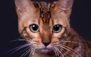 Сококе — описание пород котов