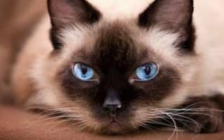 Сиамская кошка — описание пород котов