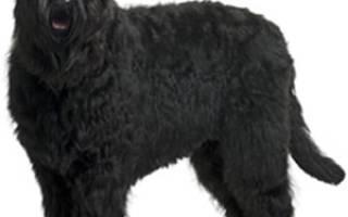 Описание породы Черный русский терьер или собака Сталина
