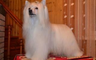 Описание породы Китайская хохлатая собака