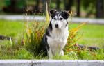 Перитонит — как лечить у собак