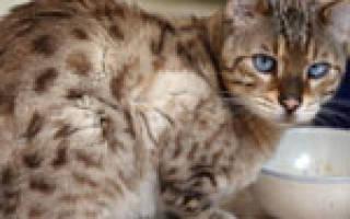 Язвенная болезнь желудка у кошки