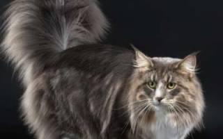 Норвежская лесная кошка — описание пород котов