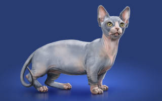 Минскин — описание пород котов